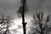 Baumsteiger, Fällgenehmigung, Baumfällung